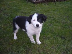Kiara, chien Border Terrier