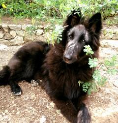 Kiara, chien Berger belge