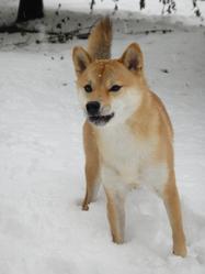 Kiara, chien Shiba Inu