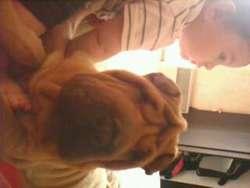 Kiara, chien Shar Pei