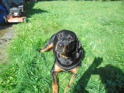 Kiara, chien Rottweiler