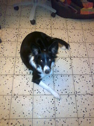 Kiara, chien Border Collie