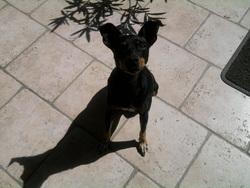Kiara, chien Pinscher