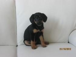 Kiara, chien Beauceron