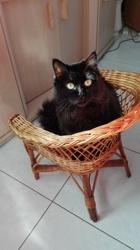 Kiara, chat Angora turc