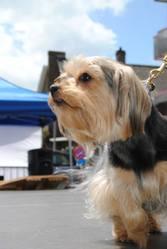 Kiara, chien Yorkshire Terrier