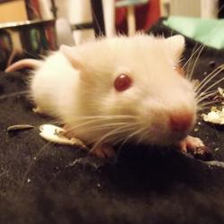 Kiara, rongeur Rat