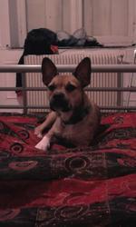 Kiara, chien Bouledogue français
