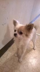Kiara, chien Chihuahua