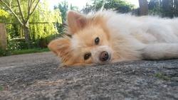 Kiara, chien Spitz allemand