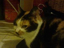 Kiara, chat Européen