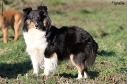 Kiara Ze Zlaté Hvezdy , chien Berger des Shetland