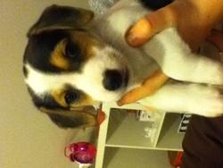 Kiarra, chien Jack Russell Terrier