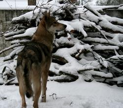 Kiba, chien Chien-loup de Saarloos