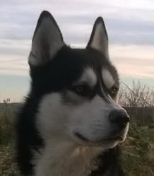 Kiba, chien Husky sibérien