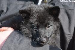 Kibo, chien Schipperke