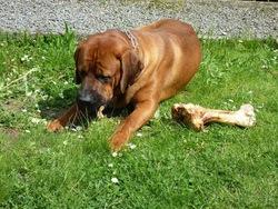 Kibou, chien Tosa