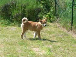 Kibou, chien Akita Inu