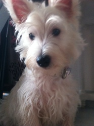 Kida, chien West Highland White Terrier