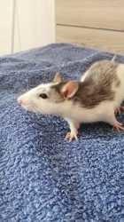 Kieran, rongeur Rat