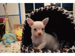 Kigal, chien Chihuahua
