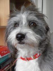 Kika, chien Coton de Tuléar