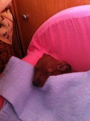 Kiki, chien Pinscher