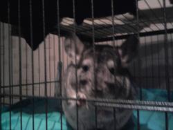 Kiki, rongeur Chinchilla