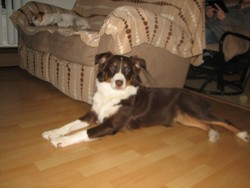 Kiki, chien Berger australien