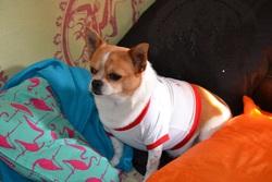 Kiki, chien Chihuahua