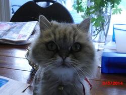 Kiki, chat Persan