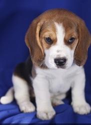Kiki, chien Beagle
