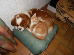 Kiki, chien King Charles Spaniel