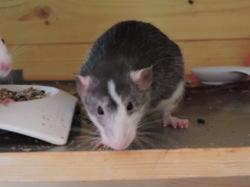 Kiki, rongeur Rat