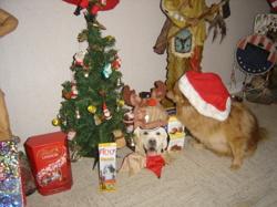 Kiki, chien Spitz allemand
