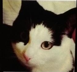 Kiki, chat Européen