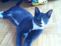 Kiki, chat Chartreux