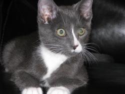 Kiki, chat Norvégien