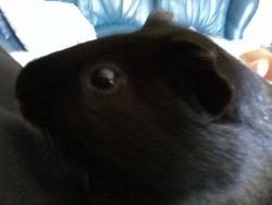Kiki, rongeur Cochon d'Inde