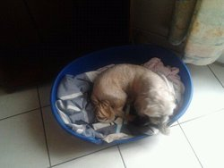 Kiki, chien Bichon maltais