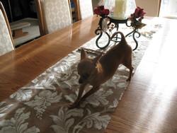 Kiko, chien Chihuahua