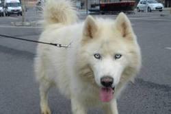 Kiko, chien Husky sibérien