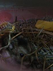 Kiko, rongeur Hamster