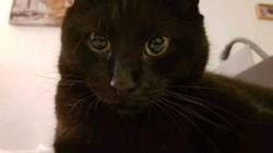 Kiko, chat Européen