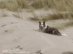 Kiko, chien Border Collie
