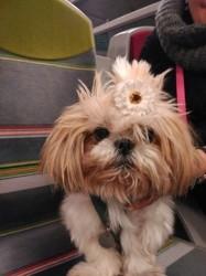Kikou, chien Shih Tzu