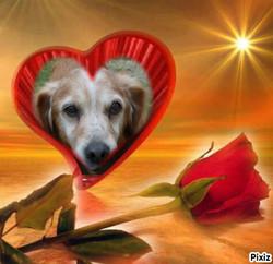 Kikou Au Paradis, chien Golden Retriever