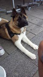 Kila, chien Akita américain