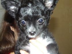 Kilana, chien Chihuahua
