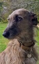 Kilim, chien Lévrier espagnol